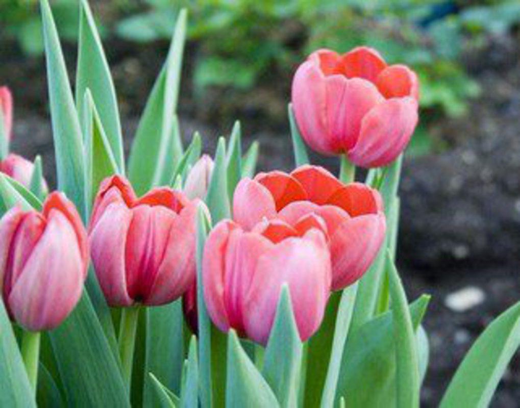 Где встать с тюльпанами в красноярске