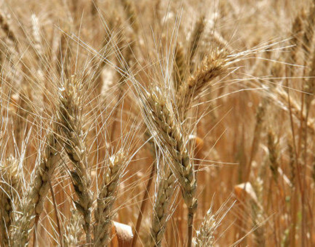 Красноярские ученые разрабатывают лекарство от опасных инфекций зерновых культур