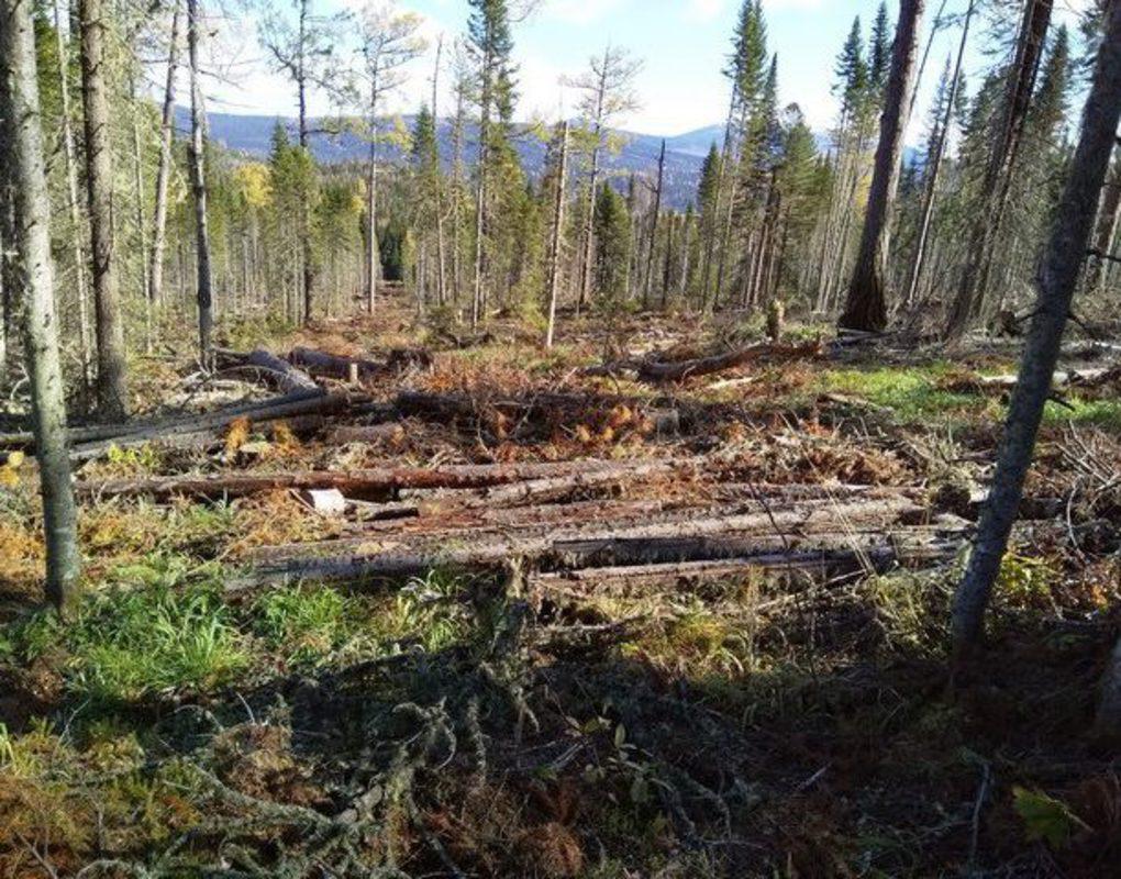 В Красноярском крае будут судить «черного лесоруба»