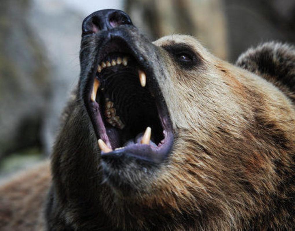 В Красноярском крае будут отстреливать медведей