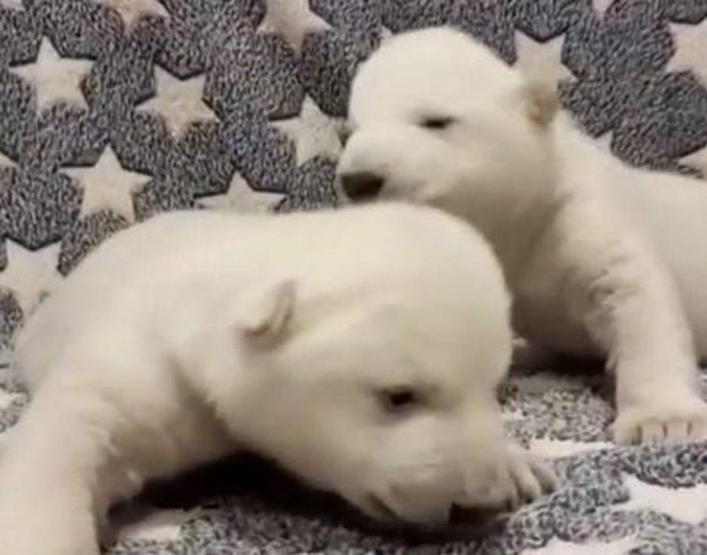 Сафари-парк Геленджика показал детенышей легендарного красноярского медведя Седова