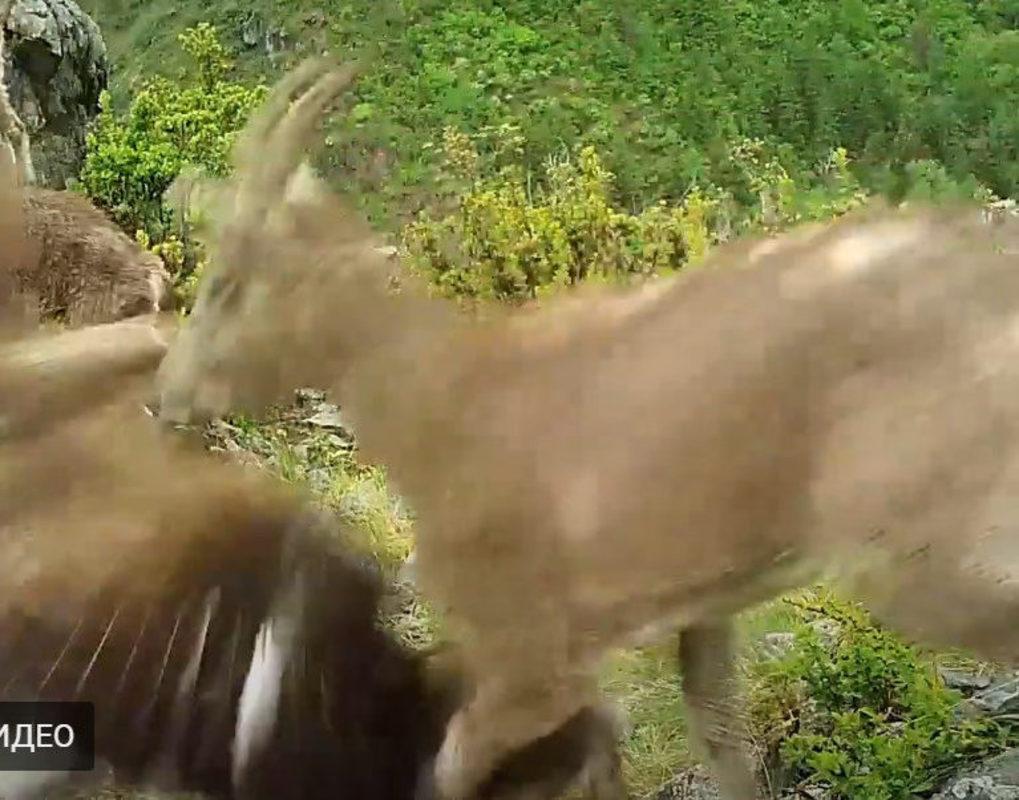 В Саяно-Шушенском заповеднике засняли охоту хищной птицы