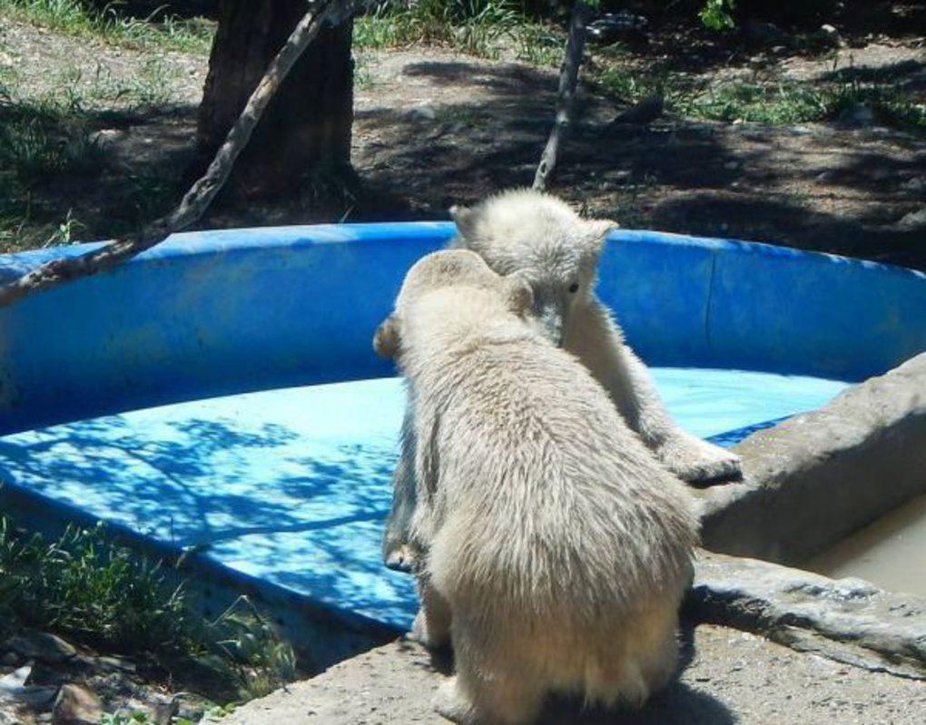 В сафари-парке «Геленджик» рассказали как растут медвежата красноярского медведя Седова