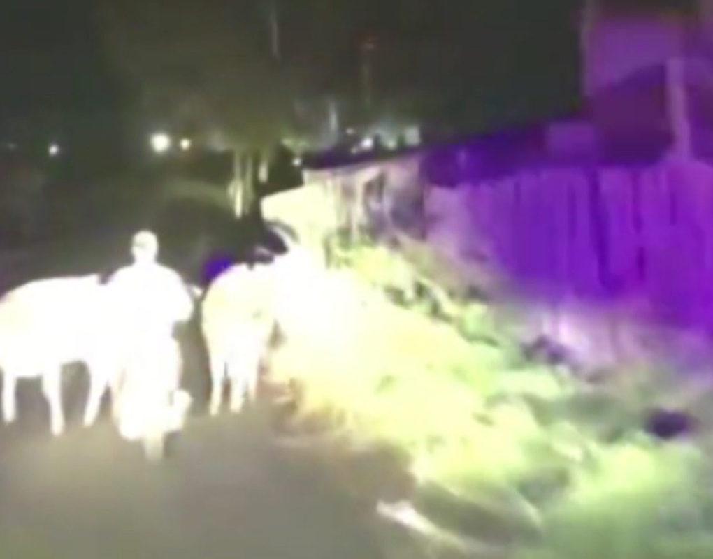 В Красноярском крае коровы помогли ГИБДД поймать нарушителя