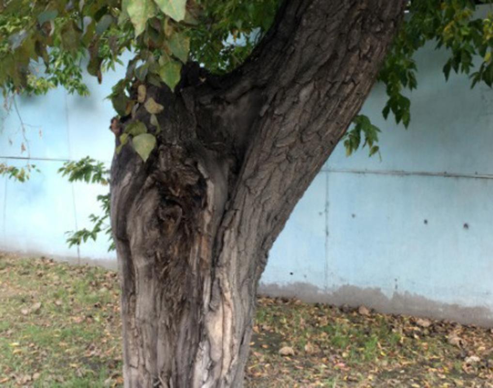 В Красноярске на улице Маерчака снесут более 30 деревьев